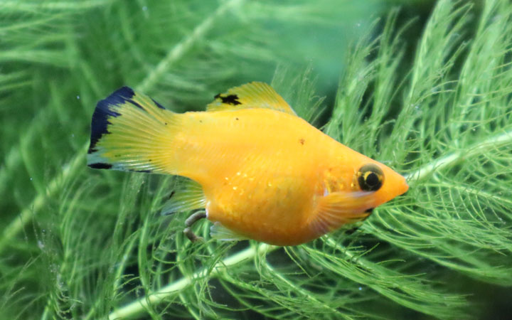 Balloon Belly Molly Fish – Care, Tank Size, Feeding, Breeding