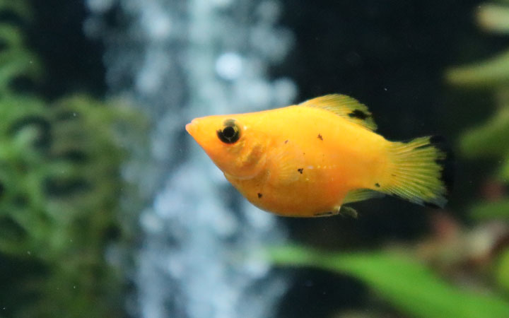 Can Molly Fish Live Without Oxygen?