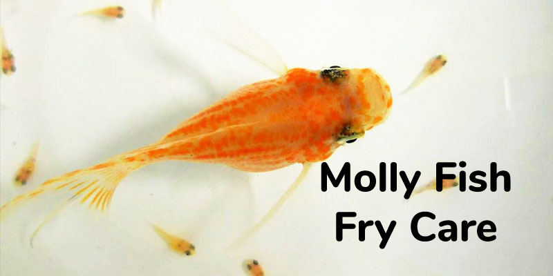 Molly Fish Fry Care – How to Care for Baby Mollies?