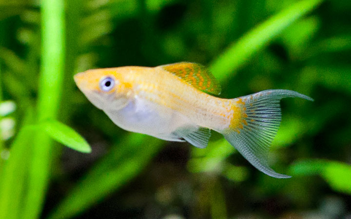 Molly Fish Lifespan – How Long do Mollies Live For?