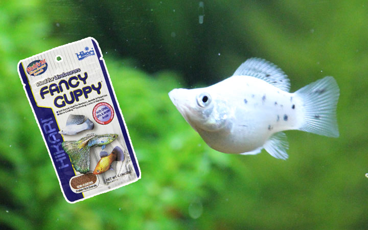 Best Food for Molly Fish – How to Feed Mollies?