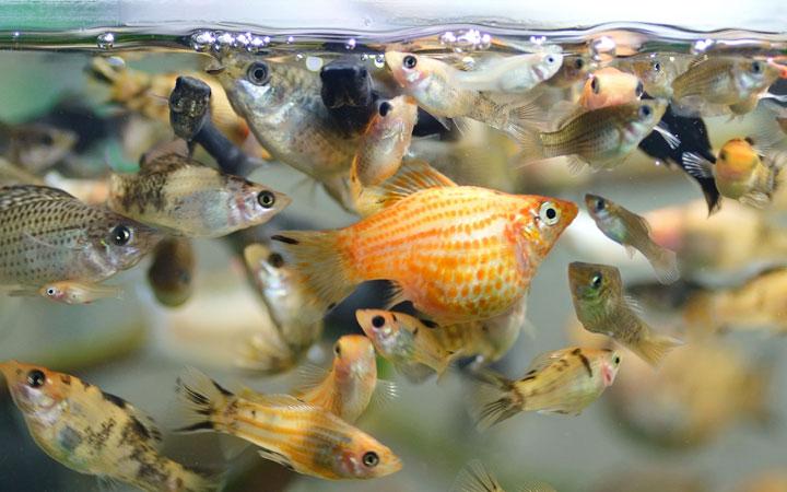 best-molly-fish-tank-mates
