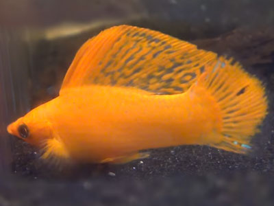 golden-sailfin-molly