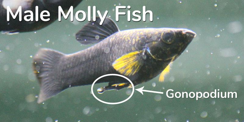 male-molly-fish