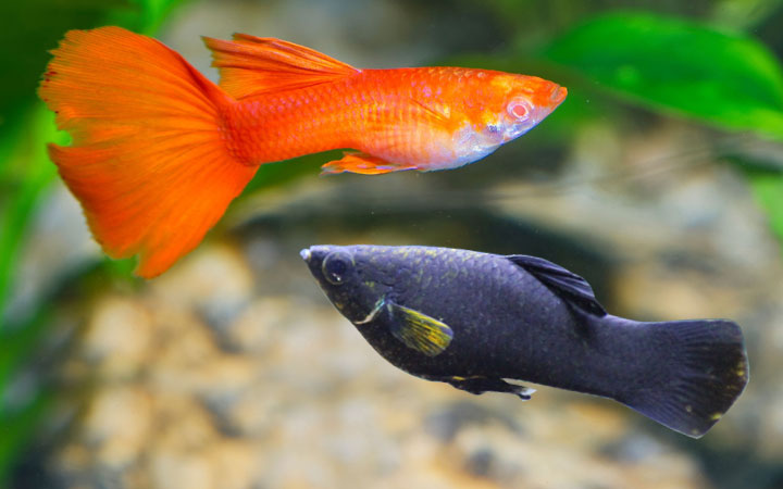 Molly Fish and Guppy Fish – Can You Keep Them Together?