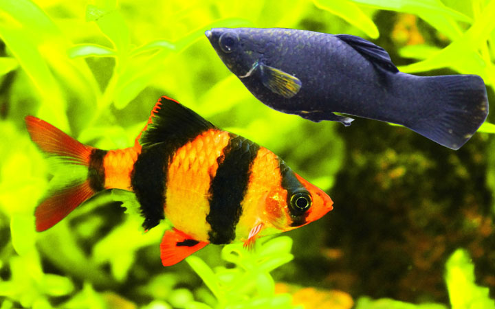 Molly Fish and Tiger Barbs – Can You Keep Them in Same Aquarium?