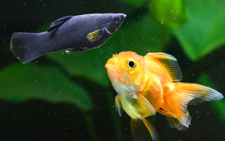 Molly Fish and Goldfish – Can You Keep Them in Same Aquarium?