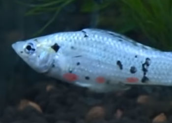 molly-fish-red-blood-spots