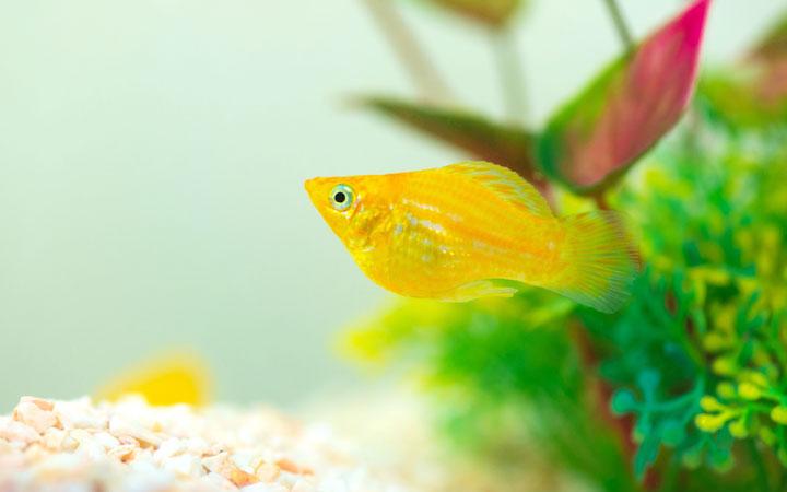 start-molly-fish-tank