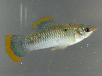 wild-molly-fish