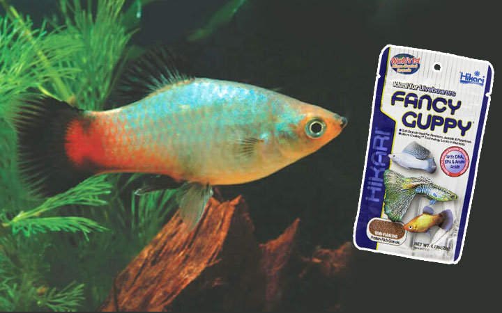 Best Food for Platy Fish – How to Feed Platies?