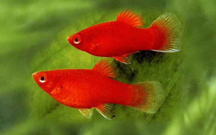breeding-platy-fish