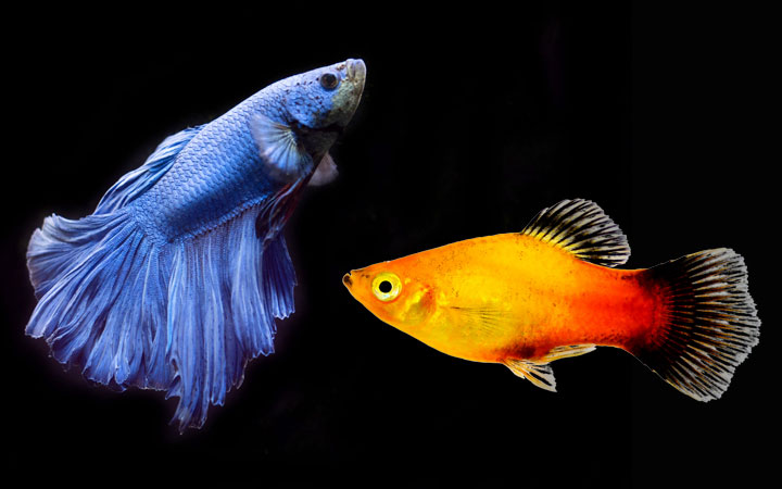 Platy Fish and Betta Fish – Can You Keep Them in Same Aquarium?