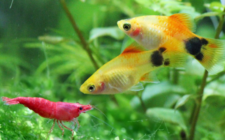 Platy Fish and Cherry Shrimp – Can You Keep Them in Same Aquarium?