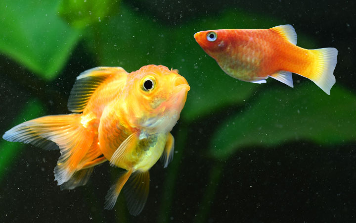 platy-fish-and-goldfish