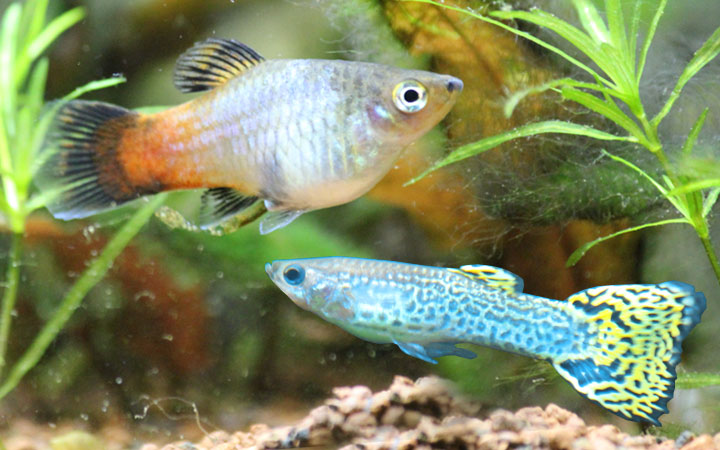 platy-fish-and-guppy-fish