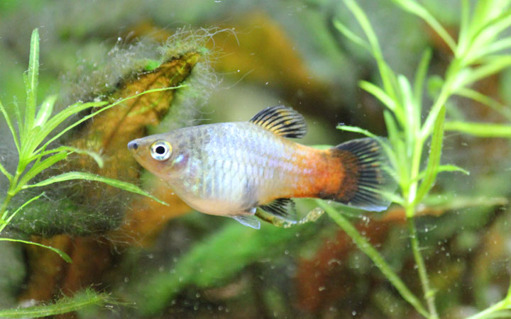 15 Fun & Interesting Facts About Platy Fish