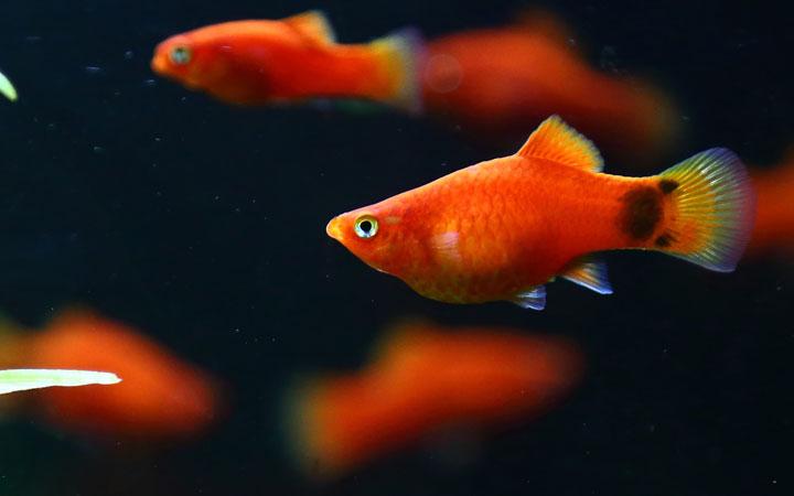 platy-fish-lay-eggs