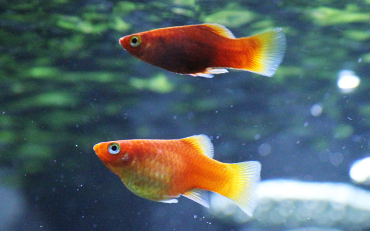 How Long Can Platy Fish Live Without Food?