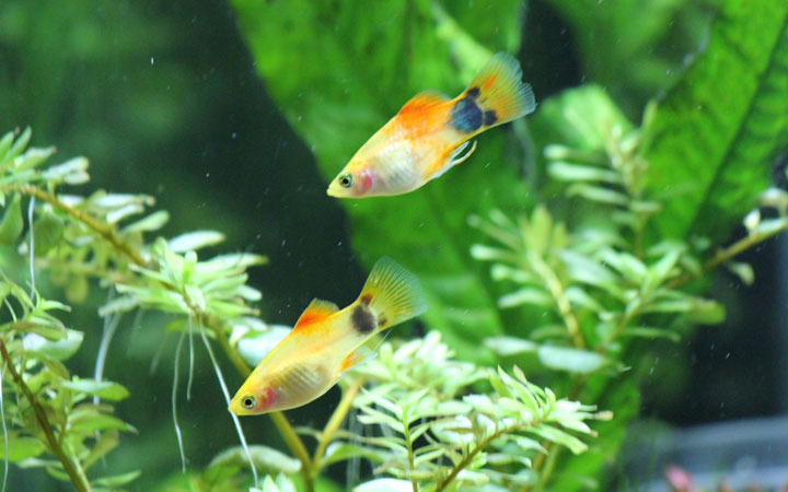 Can Platy Fish Live Without Oxygen?