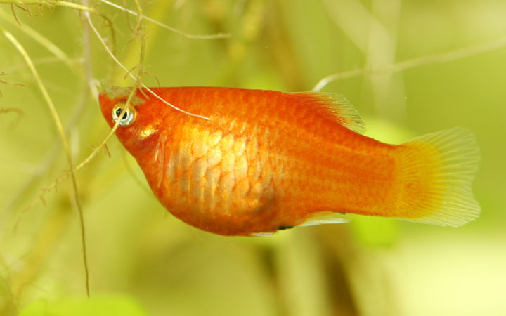 Pregnant Platy Fish – Is Female Platy Fish about to Give Birth?