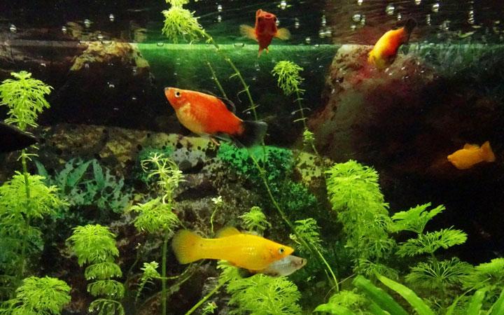 best-platy-fish-tank-mates