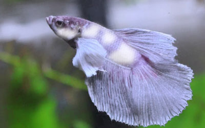 Why is my Betta Fish Turning White?