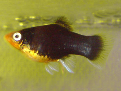 Black Hamburg Platy Fish