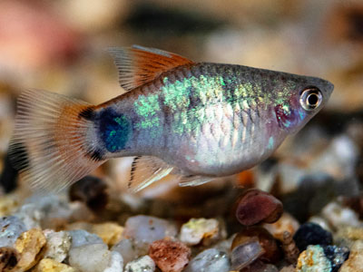 Blue Hifin Mickey Mouse Platy Fish