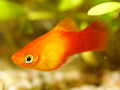 Gold Red Platy Fish