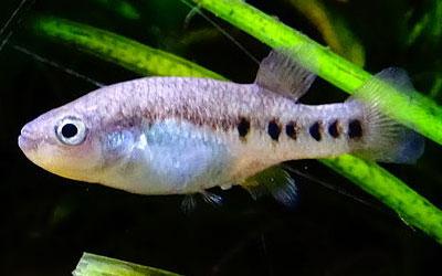 goodeid-fish