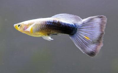 guppy-fish