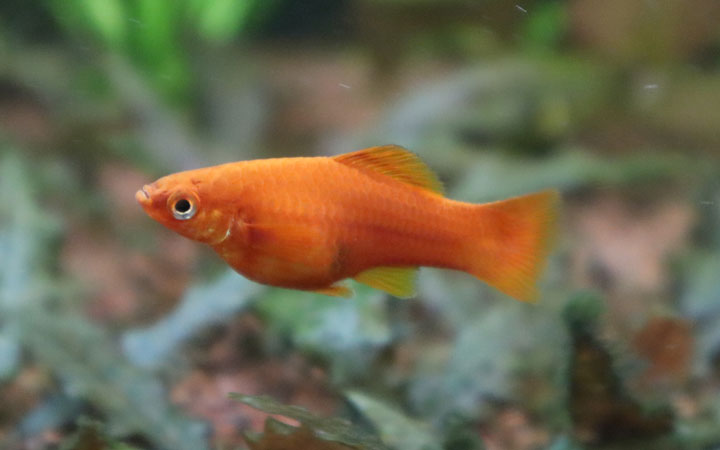 Juvenile Swordtail Fish