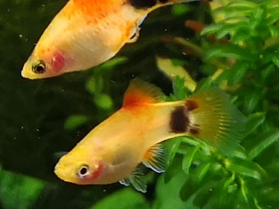 Mickey Mouse Platy Fish
