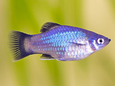 Neon Blue Wagtail Platy Fish