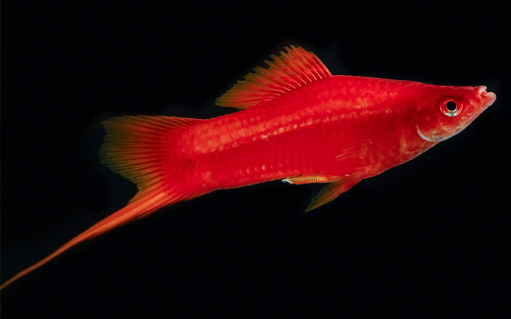 Old Swordtail Fish