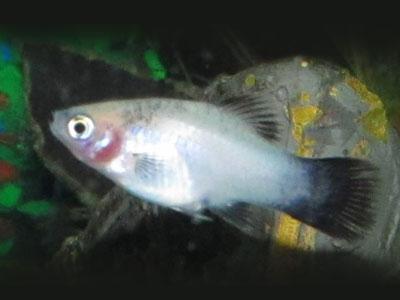 Panda Platy Fish