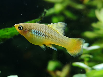 Parrot Platy Fish