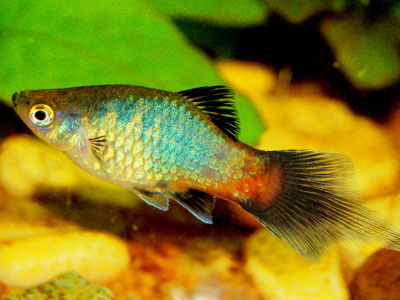Pintail Rainbow Platy Fish