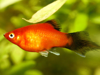 Pintail Red Wagtail Platy Fish