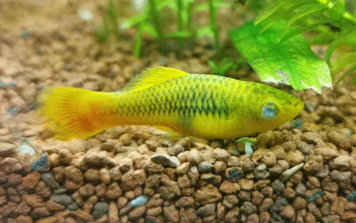 Platy Fish Diseases, Parasites & Remedies