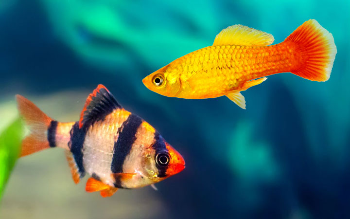 Platy Fish and Tiger Barbs – Can You Keep Them in Same Aquarium?