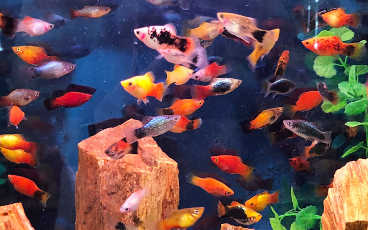 16 Different Types of Platy Fish