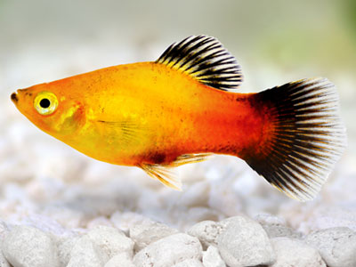 Red Gold Wagtail Platy Fish