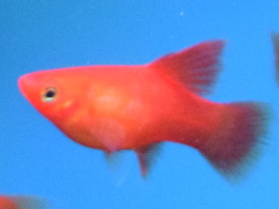 Red Hifin Balloon Platy Fish