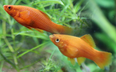 Are Swordtail Fish Aggressive?