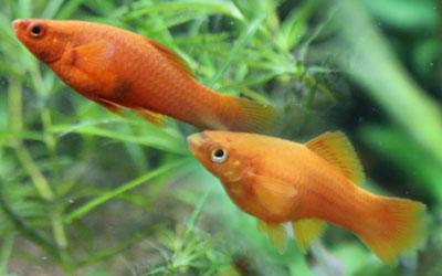 swordtail-fish-aggressive