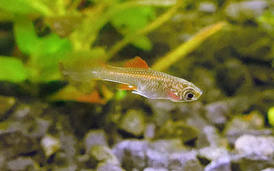 Why do Swordtail Fish Eat Their Fry?