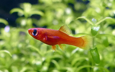 Swordtail Fish Fry Care – How to Care for Baby Swordtails?