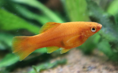 Are Swordtail Fish Livebearers?
